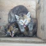 chatons  nés au gite des eyssaups