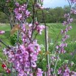 arbre de judee fleur de Provence
