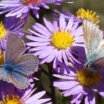 papillon de montagne sur aster