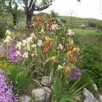 iris du jardin des eyssaups dans le buech