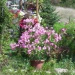 fleur de Provence le laurier rose