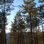 pinede dans massif de Beaumont hautes-Alpes
