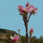 fleur de pommier c'est le printemps dans le Buech